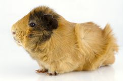Portrait of the guinea pig Royalty Free Stock Image