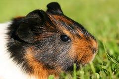 Portrait of guinea pig stock image