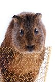 Portrait of a guinea pig in a basket Royalty Free Stock Photography