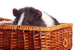 Portrait of a guinea pig in a basket Royalty Free Stock Image