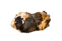Portrait of a guinea pig Stock Image