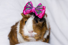 Portrait of a guinea pig Royalty Free Stock Photos