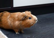 Portrait of guinea pig. Close up photo. Portrait of red guinea pig. Close up photo Royalty Free Stock Photo