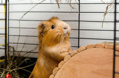 Portrait of guinea pig. Close up photo. Royalty Free Stock Photo