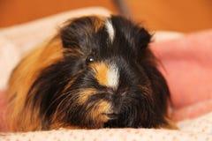 Portrait of guinea pig Stock Photos