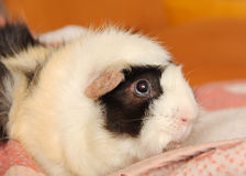 Portrait of guinea pig Royalty Free Stock Image