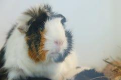 Portrait guinea pig. cute pet close up royalty free stock photos