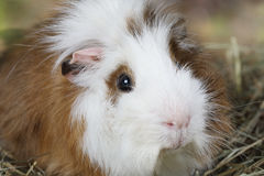 Portrait of a guinea pig Royalty Free Stock Image