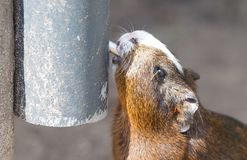 Portrait of guinea pig drinking stock image
