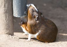 Portrait of guinea pig drinking royalty free stock photos