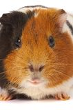 Portrait of a Guinea-pig. Macro a photo. Royalty Free Stock Image