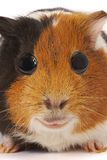 Portrait of a Guinea-pig. Macro a photo. Stock Photo