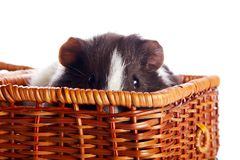 Portrait of a guinea pig in a wattled basket Royalty Free Stock Photography
