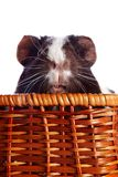 Portrait of a guinea pig in a wattled basket Stock Images