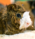 Portrait of guinea pig at the zoo Stock Photos