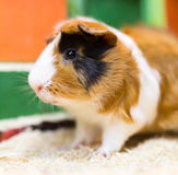Portrait of guinea pig at the zoo Stock Photography