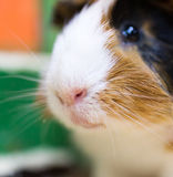 Portrait of guinea pig at the zoo Royalty Free Stock Photo