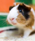 Portrait of guinea pig at the zoo.  Royalty Free Stock Images