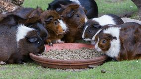 Portrait of guinea pigs eating stock photo