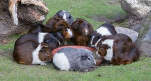 Portrait of guinea pigs eating stock photography