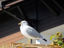 Portrait of the gull at a rest royalty free stock photo