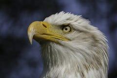 Portrait héroïque d'aigle américain Image libre de droits