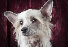 Portrait of a Hairless Chinese Crested dog Stock Images