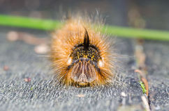 Portrait of a hairy caterpillar. The picture shows a butterfly caterpillar - herbal moth Stock Image