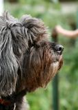 Portrait of hairy dog. Side portrait of hairy dog with green nature background Stock Image