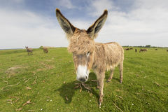 Portrait of  hairy funny donkey. On the meadow Royalty Free Stock Image