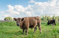 Portrait of a hairy Galloway bull in its own habitat. Brown Galloway bull in the foreground watches the photographer while another bull  grazes quietly in a Royalty Free Stock Photo