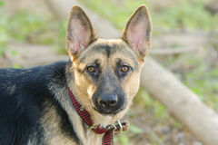 Portrait of a half-breed dog phases yard and a German Shepherd Stock Photography