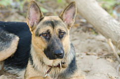 Portrait of a half-breed dog yard and a German Shepherd Royalty Free Stock Photography