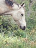Portrait of half-wild mare. liberty, Israel stock photography