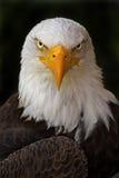 Portrait of a Haliaeetus leucocephalus, Bald Eagle Stock Images