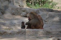 Portrait of hamadryas baboon family. Portrait of a family of hamadryas baboons stock photo