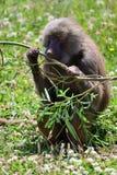 Hamadryas baboon papio hamadryas stock image