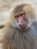 Portrait of Hamadryas baboon. (Papio hamadryas) looking backward. This is a species from the Old World monkey family stock image