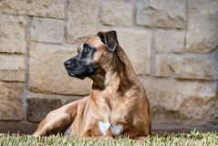Portrait of a Handsome Dog Royalty Free Stock Image