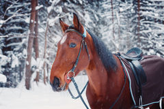 Portrait of a handsome stallion horse  winter outdoors Royalty Free Stock Image