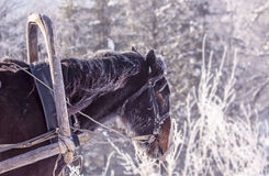 Portrait of a handsome stallion horse winter outdoors Stock Images