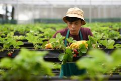 Picking Ripe Strawberries. Portrait of handsome young greenhouse worker wearing bucket hat and apron picking ripe strawberries, blurred background Royalty Free Stock Photos