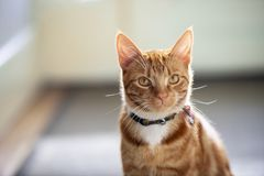 Beautiful ginger red tabby striped cat sitting indoors posing for a shallow depth of field portrait. royalty free stock photography