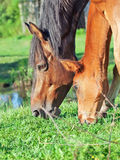 Portrait of Hanoverian mare with foal Royalty Free Stock Photography