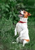 Portrait of happy barking small white and red dog jack russel terrier standing on its hind paws and looking up outside in park on stock image