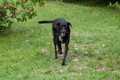 Portrait of a happy black mixed breed old dog with floppy ear on the farm. Space for text stock images