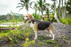 Portrait of happy cute beagle dog in tropical nature. Bali island. stock photos