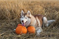 Portrait of happy dog breed siberian husky on the rye field background lying next to a pumpkin for Halloween. Portrait of happy siberian Husky dog on the rye stock photos