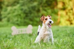 Adorable happy fox terrier dog at the park 2018 new year greeting card royalty free stock photos