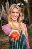 Portrait of happy gardener offering fresh tomato at garden Royalty Free Stock Photos